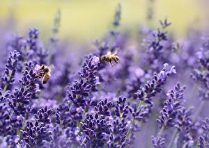 Picture Lavender Bees Insects Blurred background Nature