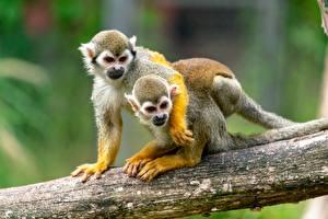 Image Monkey 2 Trunk tree Hugging squirrel monkey animal