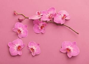 Hintergrundbilder Orchidee Ast Blütenblätter Rosa Farbe