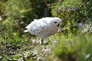 Bilder Eule Vogel Bokeh Weiß Polar owl