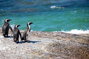 Bilder Pinguine Meer Drei 3 Tiere