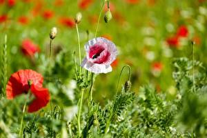 Bureaubladachtergronden Klaproos Van dichtbij Bokeh Bloemknop bloem