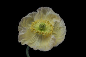 Images Papaver Closeup Black background White Iceland poppy Flowers