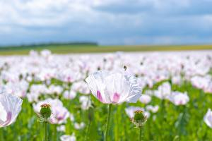 Tapety na pulpit Mak Wiele Bokeh Różowy kolor kwiat