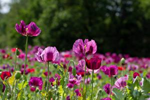 Bilder Mohnblumen Viel Blütenknospe Rosa Farbe Blumen