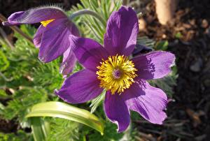 Photo Pasque flower Closeup Violet flower