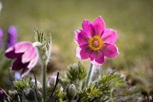 Tapety na pulpit Sasanka Różowy kolor Bokeh kwiat