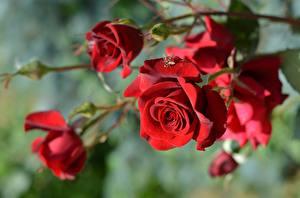 Fondos de escritorio Rosa De cerca Rojo Bokeh Flores