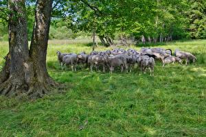 Wallpaper Sheep Grass Herd animal