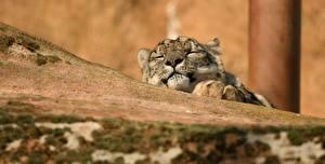 Pictures Snow leopards Sleep animal