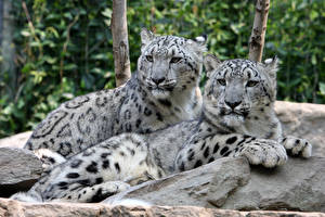 Desktop wallpapers Snow leopards Stone Two Lying down Paws Glance Animals