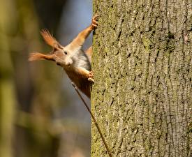 Pictures Squirrels Rodents Bark of tree Trunk tree Animals