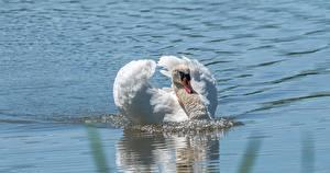 Hintergrundbilder Schwan Vögel Wasser Weiß Schwimmende