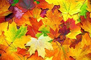 Bilder Textur Herbst Blattwerk Ahorn Natur