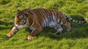 Bilder Tiger Gras Liegen Pfote Dick ein Tier