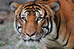 Hintergrundbilder Tiger Schnauze Blick ein Tier