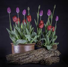 Pictures Tulip Flowerpot Conifer cone Flower-bud Flowers