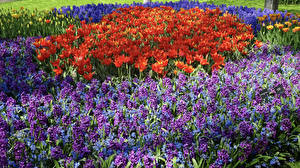 Photo Tulips Hyacinths Many flower
