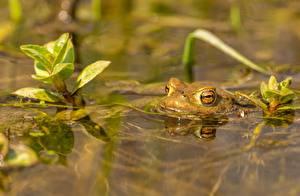 Fotos Wasser Frosche Unscharfer Hintergrund ein Tier