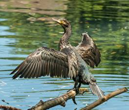 Images Birds Branches Wings Cormorant Animals