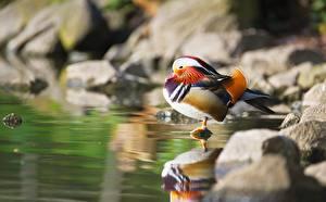 Fotos Vogel Entenvögel Stein Unscharfer Hintergrund Mandarin duck ein Tier