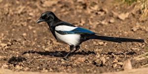 Bilder Vögel Die Elster Unscharfer Hintergrund
