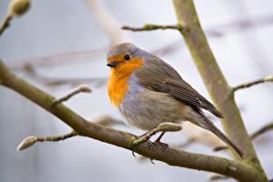 Hintergrundbilder Vögel Ast Bokeh European robin, Zoryanka