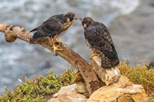 Bilder Vogel Falken Ast Zwei Peregrine Falcon ein Tier