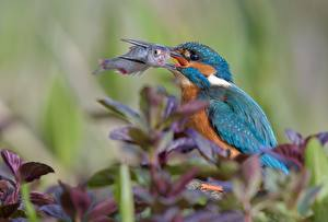 Picture Birds Fish - Food Common Kingfisher Hunting Animals