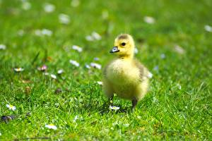Pictures Bird Geese Cubs Nestling Grass Blurred background Animals