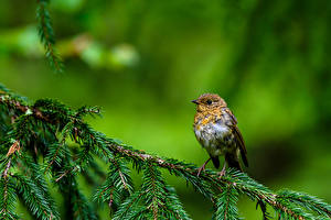 Fotos Vogel Ast Unscharfer Hintergrund Robin, True thrush ein Tier