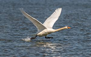 Pictures Birds Swans Water Taking off White Run Animals