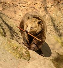 Wallpaper Bears Brown Bears