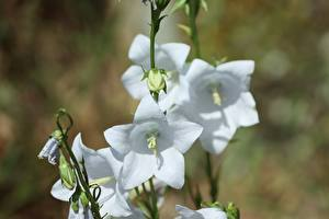 Picture Campanula Closeup White Blurred background flower