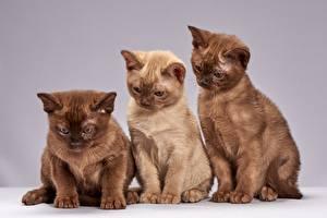 Фотографии Коты Трое 3 Коричневые Burmese cat Животные