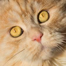 Bilder Katzen Augen Schnauze Nase