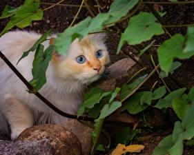 Desktop hintergrundbilder Katzen Starren Tiere