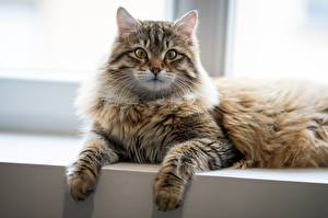 Pictures Cats Staring Paws Laying animal