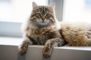 Hintergrundbilder Katze Starren Pfote Liegen ein Tier