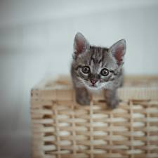 Images Cat Kittens Wicker basket Staring Gray