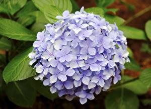 Image Closeup Hydrangea Violet