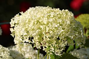 Photo Closeup Hydrangea White Flowers