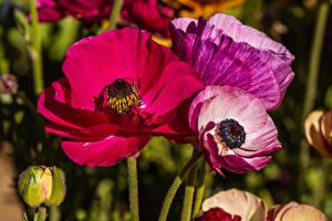 Fotos Großansicht Mohn Blumen