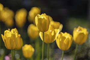 Fotos & Bilder Großansicht Tulpen Bokeh Gelb Blumen