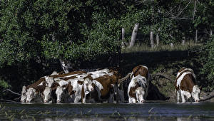 Pictures Coast Cow Many Drinking water