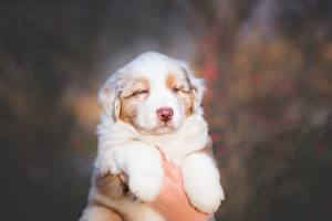 Wallpaper Dog Lovely Puppy Hands Aussie dog Animals