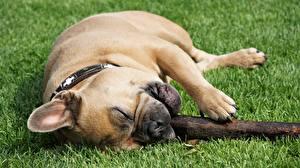Bilder Hund Französische Bulldogge Gras Liegt Pfote Tiere