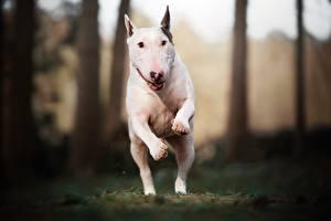 Bureaubladachtergronden Hond Rennende Springt Wit Bulterriër Dieren