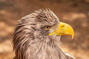 Photo Eagle Closeup Bird Head Side Beak White-tailed eagle Animals
