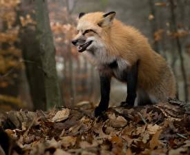 Fotos & Bilder Füchse Herbst Blattwerk Tiere